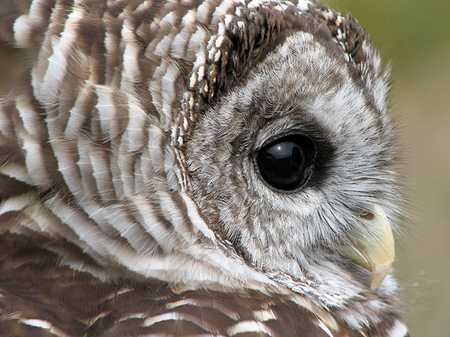 Barred Owl Close-up