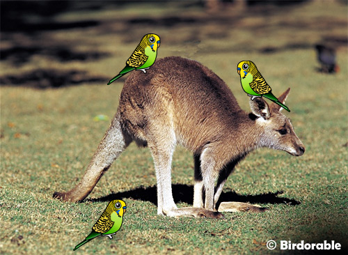 Birdorable Budgies on a Kangaroo