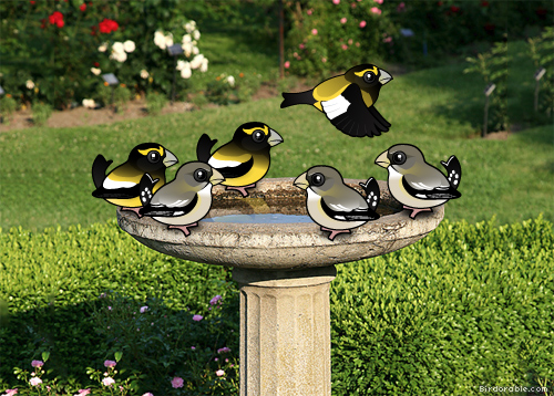 Evening Grosbeaks at the bird bath