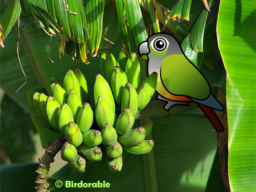 Birdorable Green-cheeked Parakeet