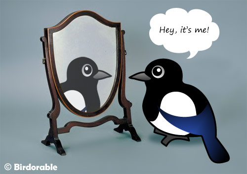 Birdorable Magpie looking in a mirror