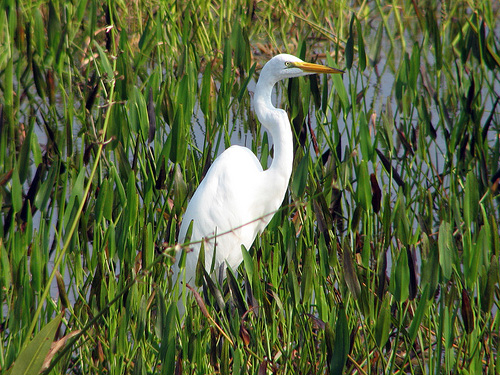 Great Egret at Viera Wetlands in Florida
