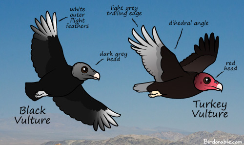 Differences between Black Vulture and Turkey Vulture