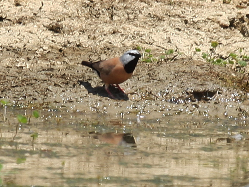 _black-throated-finch