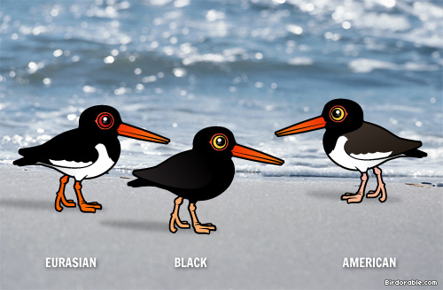 Three Birdorable Oystercatchers