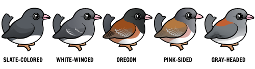 5 major groups of Dark-eyed Juncos