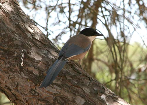 Azure-winged Magpie in Andalucia