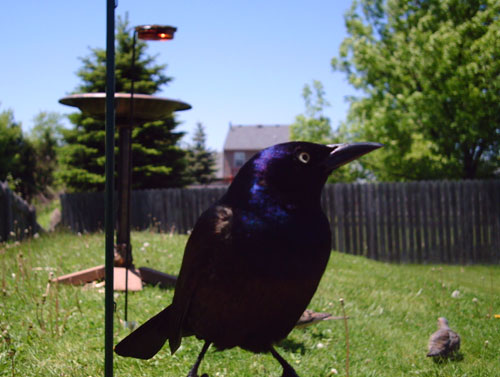 common grackle female. Common Grackle
