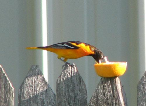 Our Backyard Birds in Personal, Backyard Birds