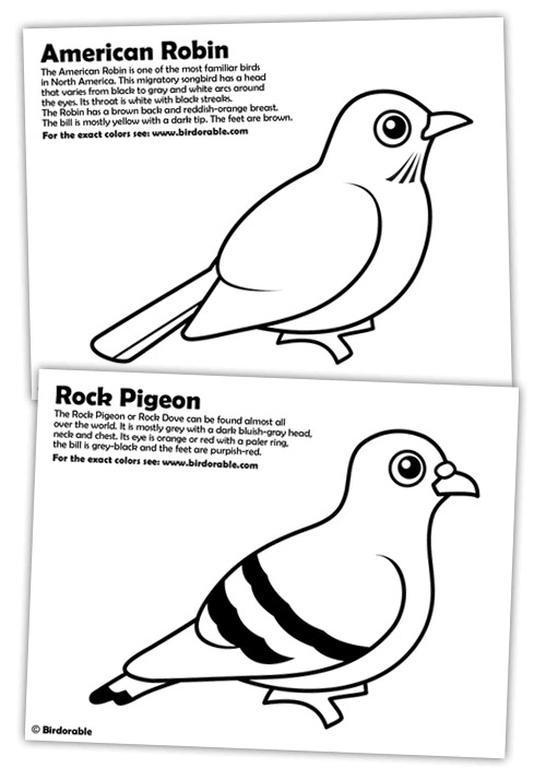 Rock Pigeon and American Robin Coloring Pages in Coloring Pages