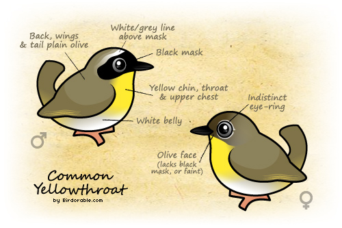 Common Yellowthroat Characteristics