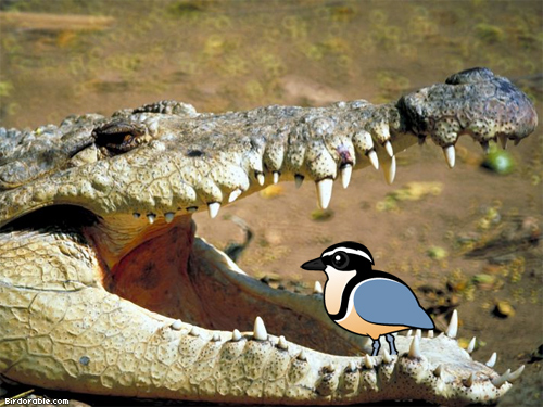 Plovers and crocodiles - photo#22