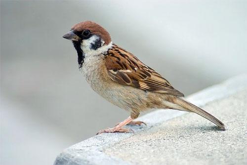 Photo of Eurasian Tree Sparrow