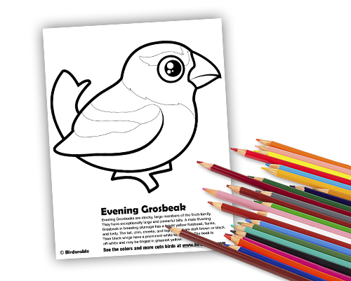 Evening Grosbeak coloring page