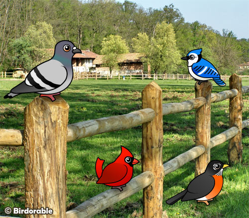 Rock Pigeon, Northern Cardinal, Blue Jay and American Robin
