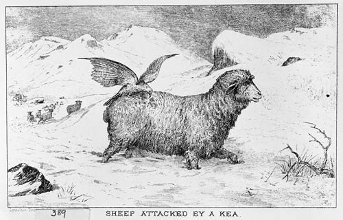 Kea on a sheep
