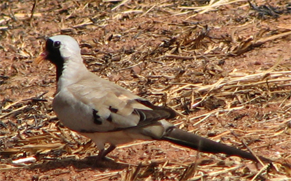 Male Namaqua Dove