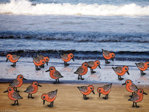 Red Knots on the beach