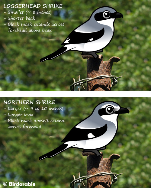 Spot the differences between Loggerhead Shrike and Northern Shrike