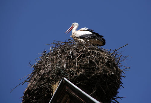 White Storks in Munster, France
