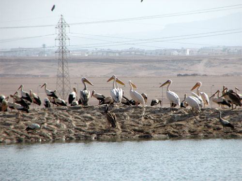 White Storks in Sharm-el-Sheikh, Egypt