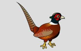 City Bird: Hanam's Pheasant