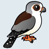 View more information about African Pygmy Falcon