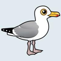 View more information about Herring Gull