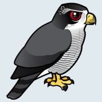 View more information about Northern Goshawk