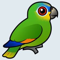 View more information about Orange-winged Parrot