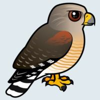 View more information about Red-shouldered Hawk