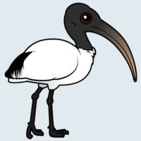 View more information about Sacred Ibis