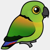 Black-collared Lovebird
