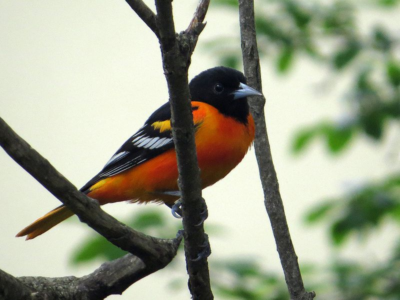 Cute Baltimore Oriole By Birdorable