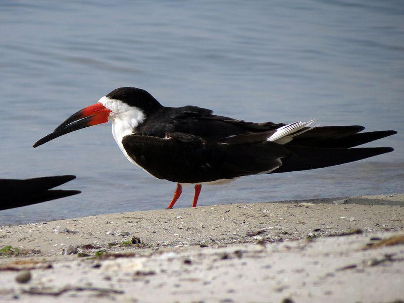Cute Black Skimmer by Birdorable < Meet the Birds