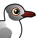 Gray-hooded Gull