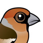 Birdorable Hawfinch
