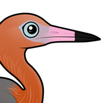 Birdorable Reddish Egret