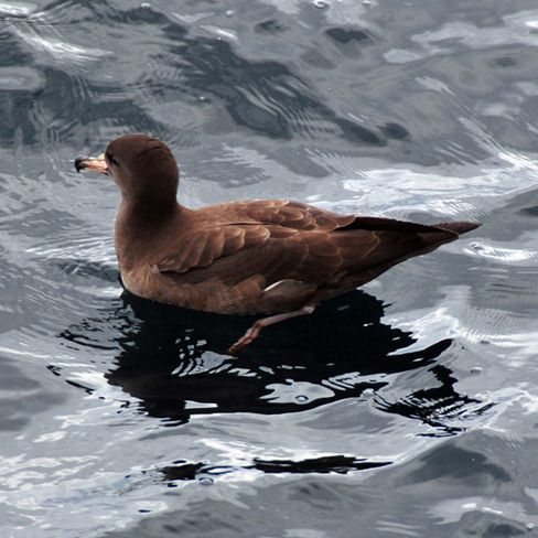Helping the Flesh-footed Shearwater