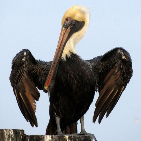 Gulf Oil Spill Disaster Support for Birds