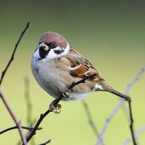 UK Tree Sparrow Research