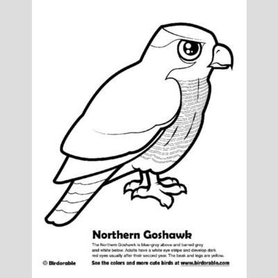 Northern Goshawk Coloring Page sample