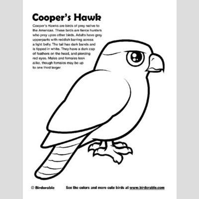 hawk coloring page sample hawks are birds of prey