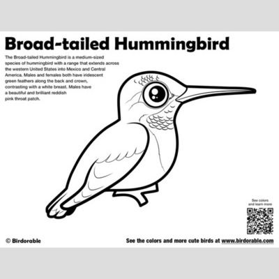 Broad-tailed Hummingbird Coloring Page sample