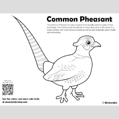 Common Pheasant Coloring Page sample