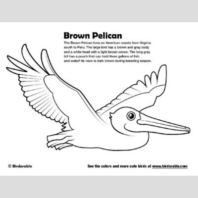 Brown Pelican Coloring Page sample