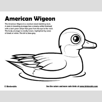 American Wigeon Coloring Page sample