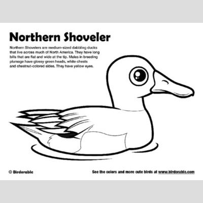Northern Shoveler Coloring Page sample