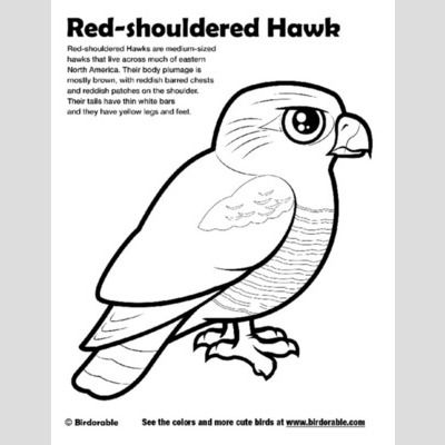 Red-shouldered Hawk Coloring Page sample
