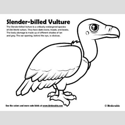 Slender-billed Vulture Coloring Page sample